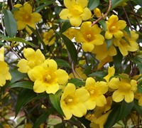 Butterscotch Jasmine Vine - Gelsemium sempervirens 'Butterscotch'