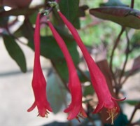 Red Trumpet Honeysuckle - Lonicera sempervirens