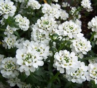 Purity Candytuft
