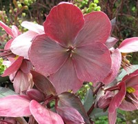 Shop Helleborus Gold Collection 'Pink Frost' - 1 Gallon