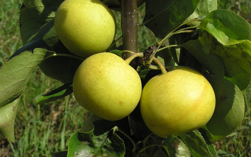 Shinseiki Asian Pear - 5 Gallon - Asian Pear Trees | ToGoGarden