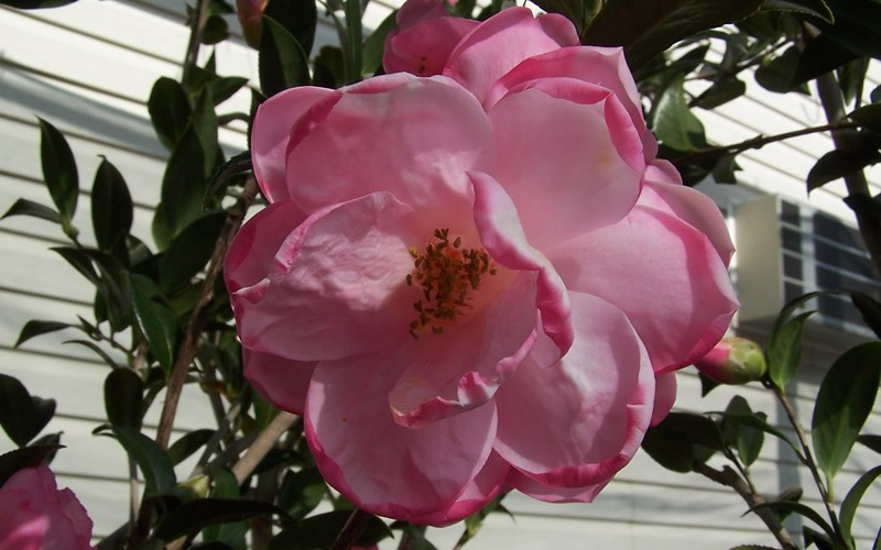Taylors Perfection Hybrid Camellia Photo 2