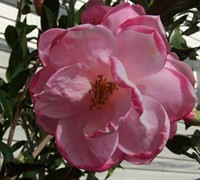 Taylors Perfection Hybrid Camellia