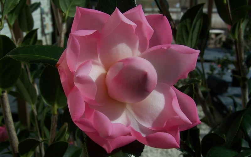 Taylors Perfection Hybrid Camellia Photo 3