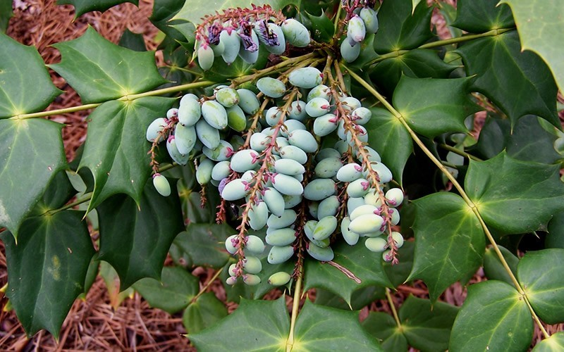 Leatherleaf Mahonia - Mahonia bealei  - 3 Gallon - Evergreen Shrubs | ToGoGarden
