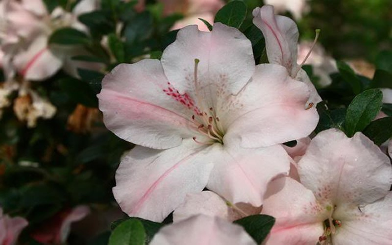 Sir Robert Azalea - 1 Gallon - Azalea Shrubs | ToGoGarden