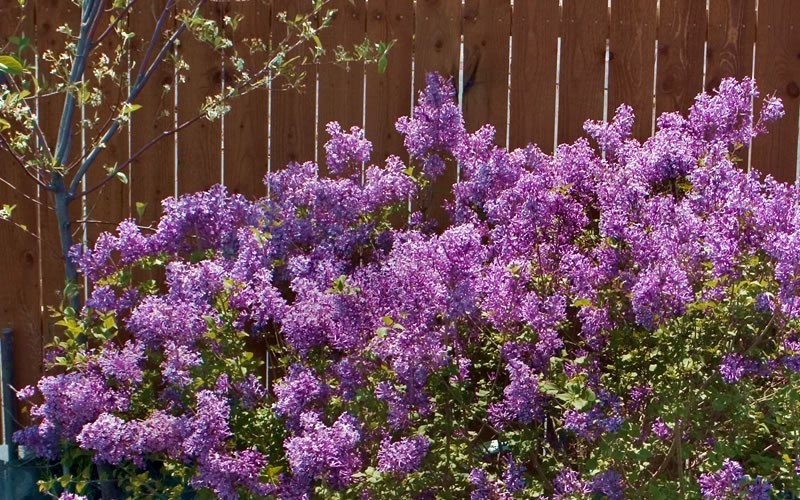Bloomerang Purple Lilac - 3 Gallon - Butterfly Attracting Shrubs | ToGoGarden