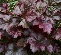Shop Heuchera 'Plum Pudding' - Coral Bells - 1 Gallon