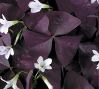 Shop Charmed Wine Oxalis - 1 Gallon
