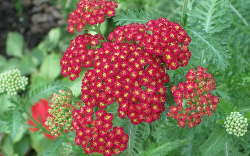 Strawberry Seduction Yarrow Red - 1 Gallon - Perennial Plants | ToGoGarden