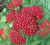 Strawberry Seduction Yarrow Red
