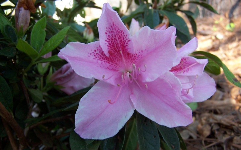 George Taber Southern Indica Azalea Photo 2