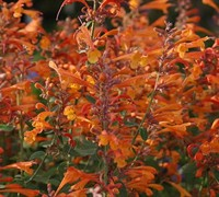 Orange Nectar Agatsache - Hummingbird Mint