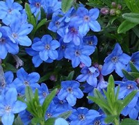 Lithodora diffusa 'Grace Ward' - Grace Ward Lithodora