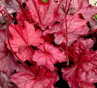 Fire Chief Heuchera - Coral Bells