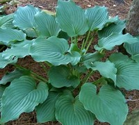 Shop Komodo Dragon Hosta Lily - 1 Gallon