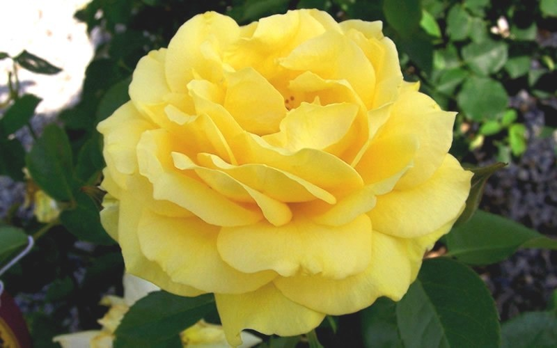 Julia Childs Floribunda Rose Photo 2