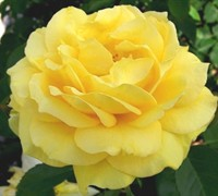 Julia Childs Floribunda Rose