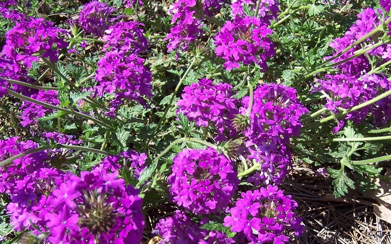 Homestead Purple Hardy Verbena Photo 4