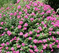 Shop Pocomoke Dwarf Crape Myrtle - 3 Gallon