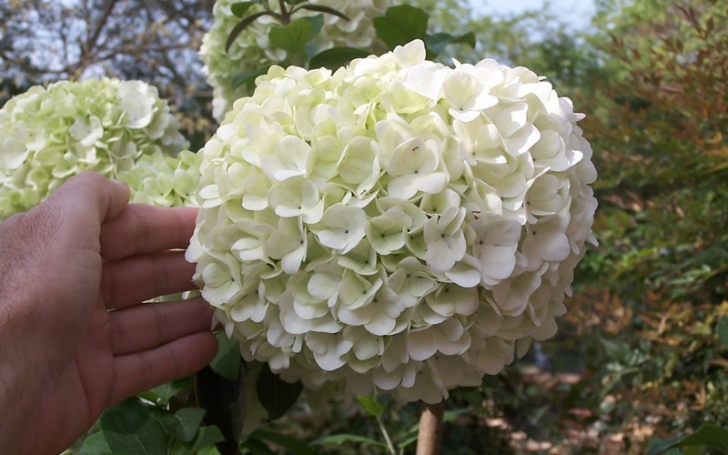 Chinese Snowball Viburnum - 3 Gallon - Shrubs for Spring Color | ToGoGarden