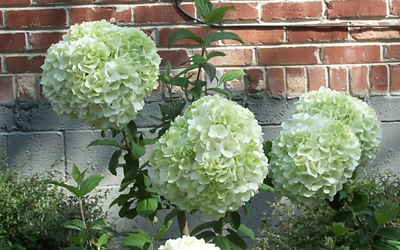 Chinese Snowball Viburnum Photo 8