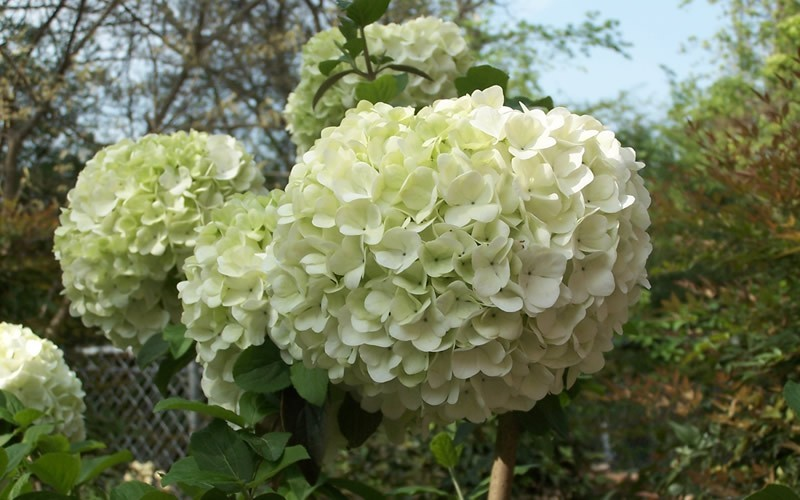Chinese Snowball Viburnum Photo 6