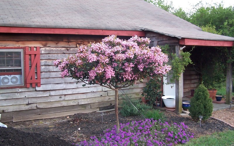 Rosalinda® Indian Hawthorne Tree