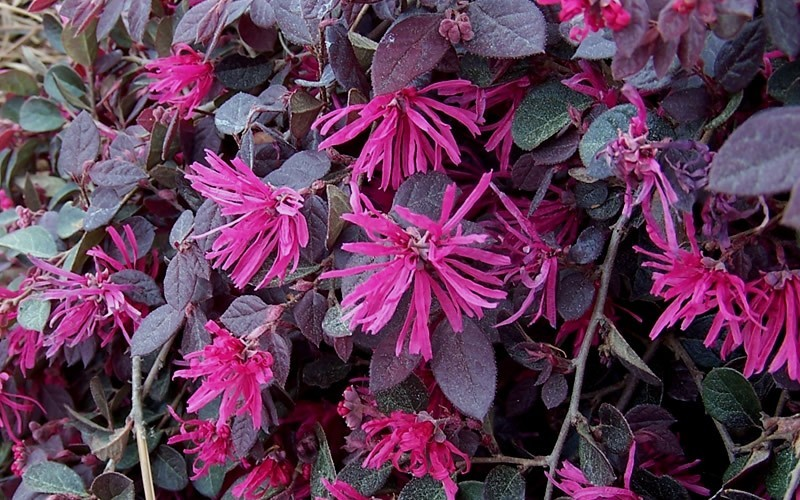 Purple Pixie Loropetalum Photo 3