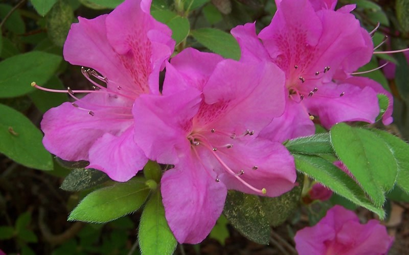 Autumn Amethyst Encore Azalea - 1 Gallon - Encore Azalea Collection | ToGoGarden