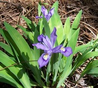 Dwarf Crested Iris blue