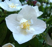 Polar Star Mock Orange - Philadelphus 'Polar Star'