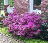 Autumn Royalty Encore Azalea