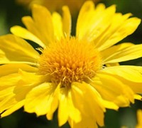 Yellow Blanket Flower
