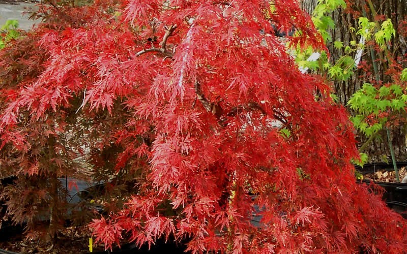 Orangeola Japanese Maple Photo 9