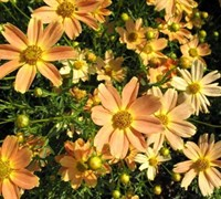 Shop Sienna Sunset  Coreopsis - 1 Gallon