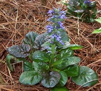 Catlins Giant Bugleweed