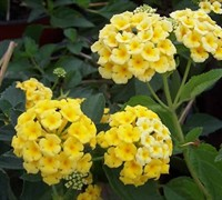 Shop Chapel Hill Yellow Hardy Lantana - 3 Count Flat of Pint Pots