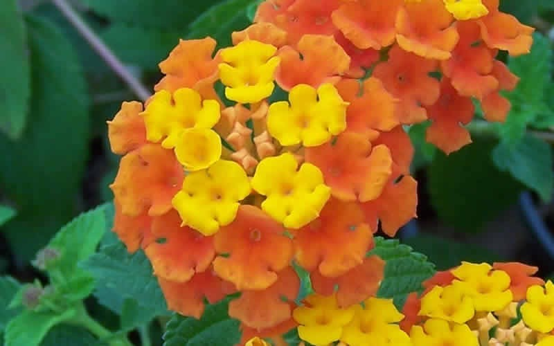 Sonset Hardy Lantana Photo 7