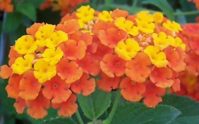 Sonset Hardy Lantana Photo 6