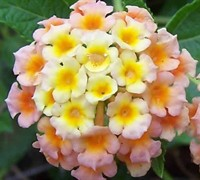 Chapel Hill Apricot Sunrise Lantana