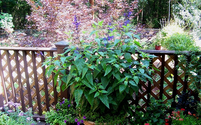 Black and Blue Salvia - Blue Anise Sage Photo 3