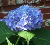 Shop The Original Endless Summer Hydrangea - 1 Gallon