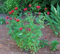 Shop Jacob Cline Bee Balm  - 1 Gallon