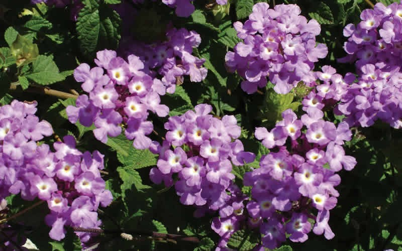 Lantana 'Trailing Lavender' - Hardy Trailing Lantana Photo 1