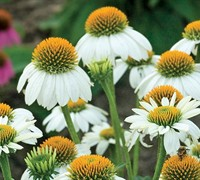 Echinacea Pow Wow White - Coneflower