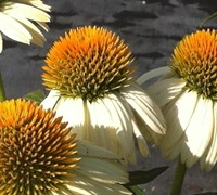 Pow Wow White Coneflower