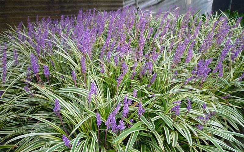Variegated Liriope 3 Gallon Groundcover Perennial Deer