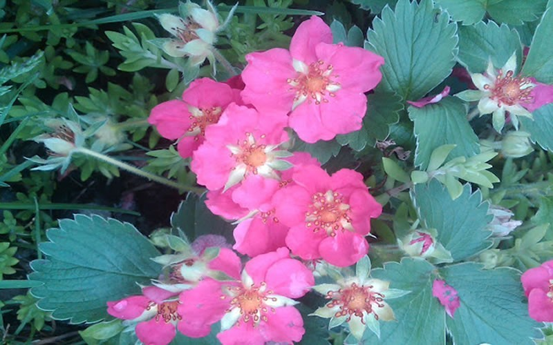 Fragaria ananassa 'Lipstick' - Lipstick Ornamental Strawberry Photo 2