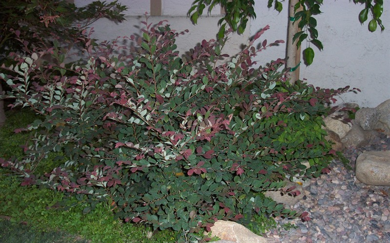 Plum Delight Loropetalum Photo 2